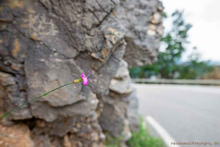 Blühte aus Felsspalte