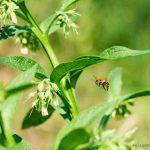 Wildkräuter Beinwell (Symphytum)