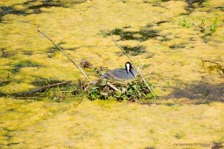 Haubentaucher brütet im Nest