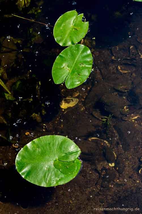 Drei Seerosenblätter auf dem See