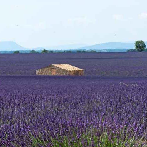 Provence - Lavendelfelder