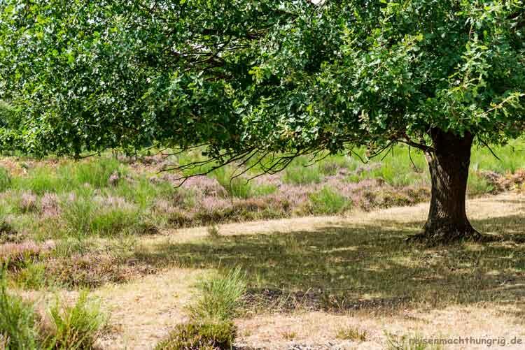 Baum mit Heide im Hintergrund