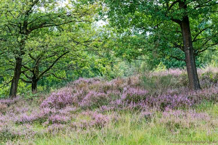 Hügel mit Heide