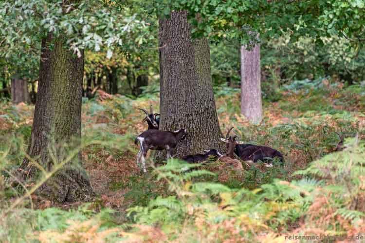 Ziegen unter einem Baum