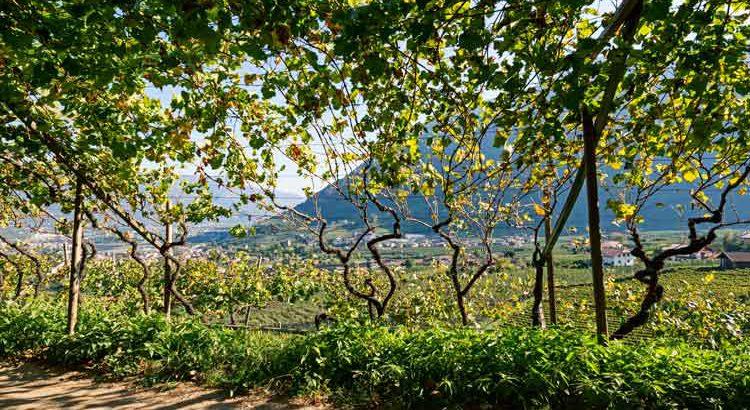 Waalweg mit Weinblättern
