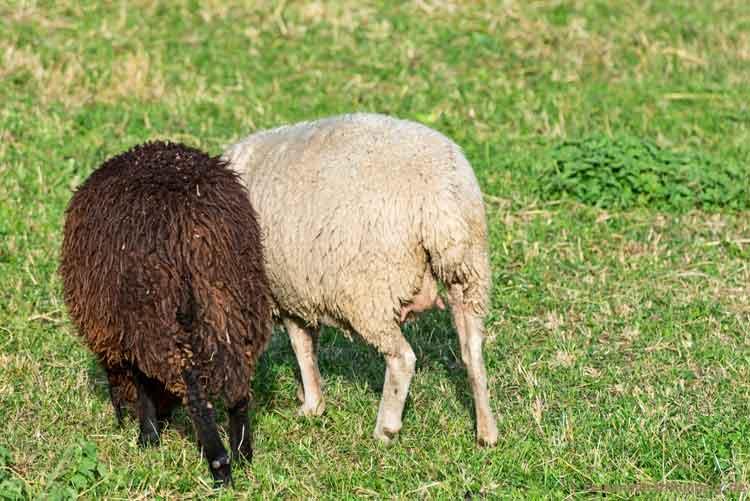Zwei Schafe von hinten