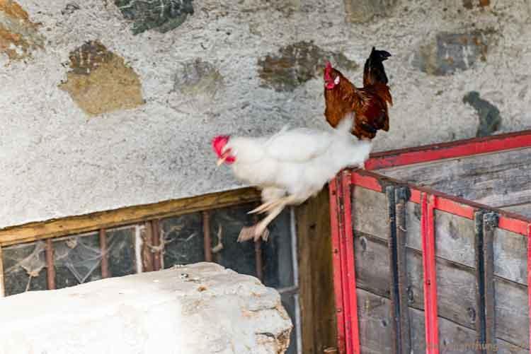 Huhn springt