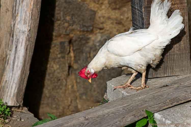 Huhn steht und guckt