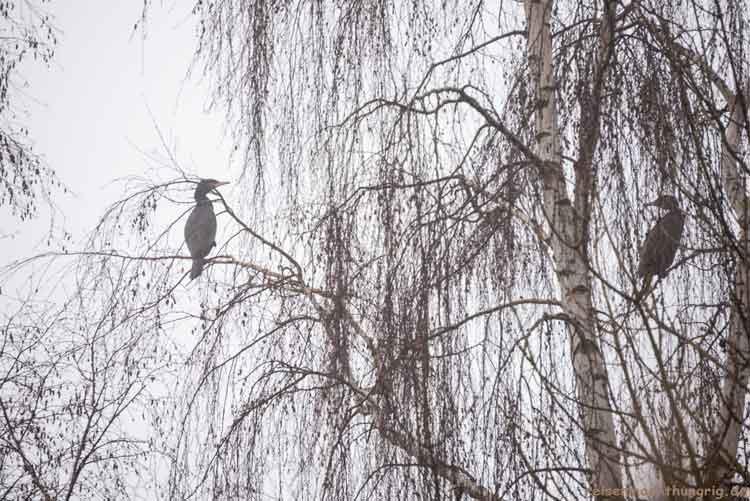 Kormorane auf dem Baum