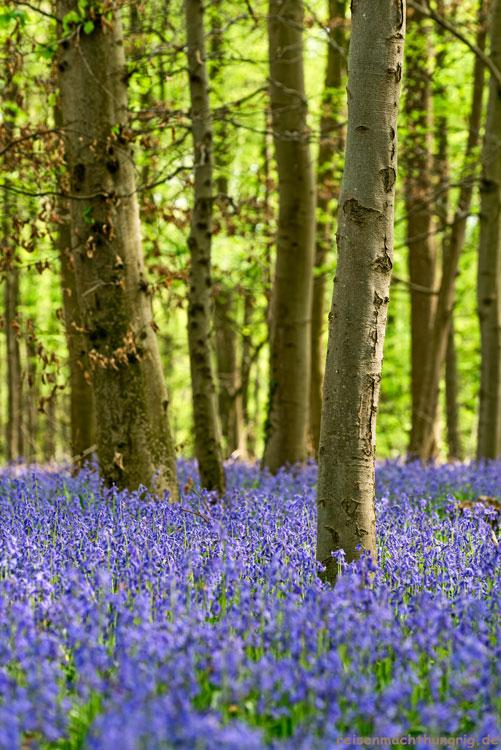 Waldboden voller Hasenglöckchen