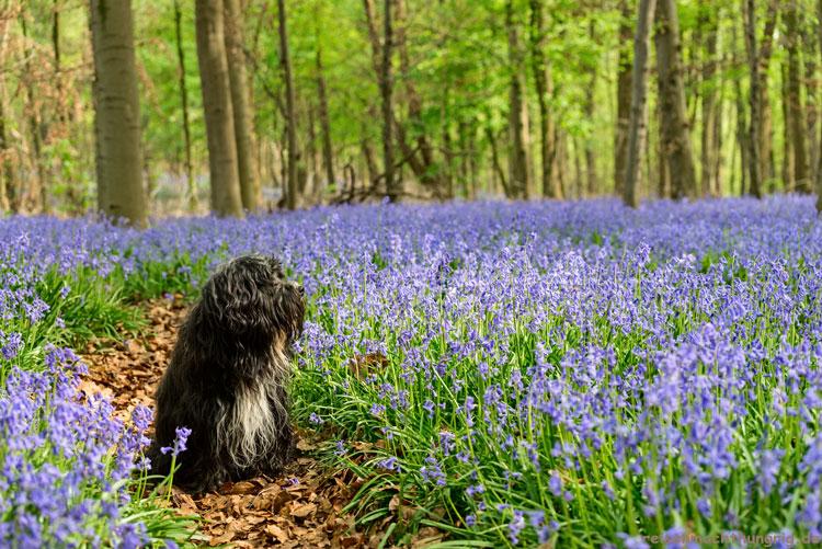 Waldboden voller Hasenglöckchen und Hund