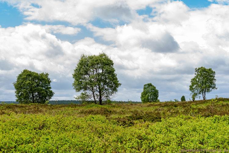 Bäume im Hohen Venn