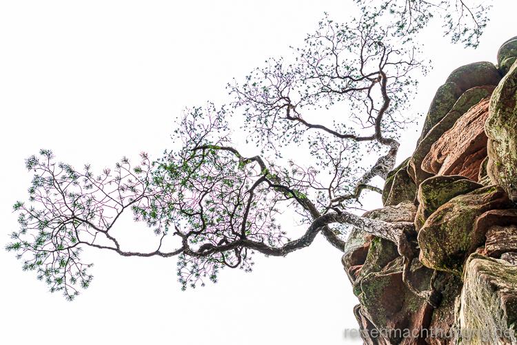 Bizarre Baumstruktur an Felsen geklammert