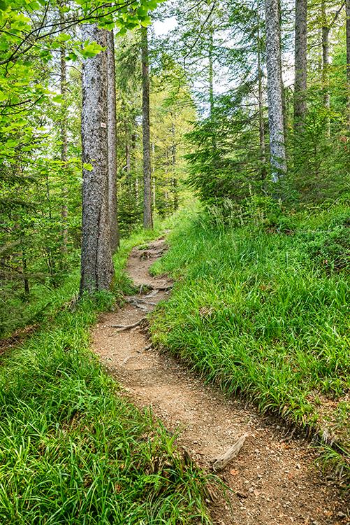 Der Belchensteig schlängelt sich durch den Wald
