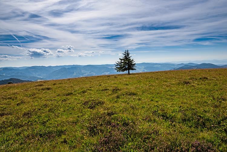 Einzelner Baum auf dem Belchengipfel