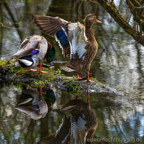 Ente reckt sich