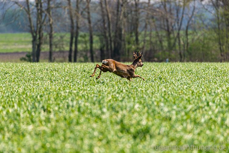 Reh springt durchs Feld