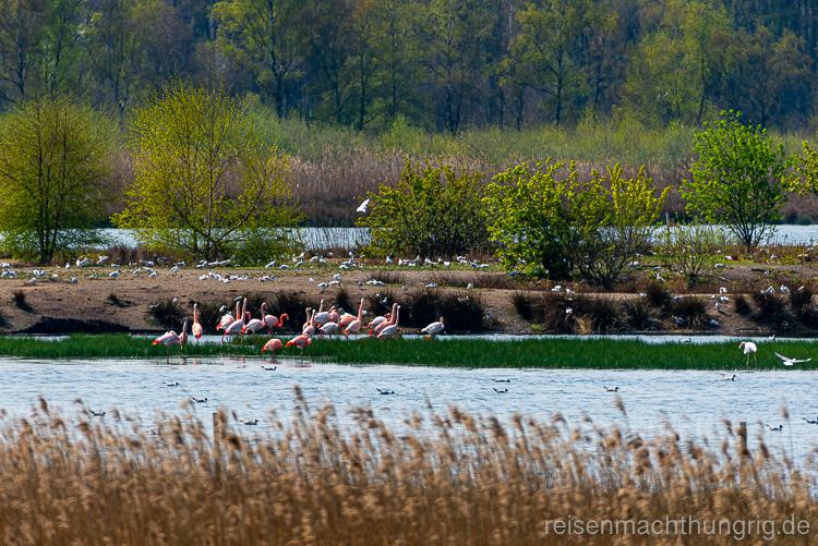 Rosa Flamingos staksen durch das Zwillbrocker Venn