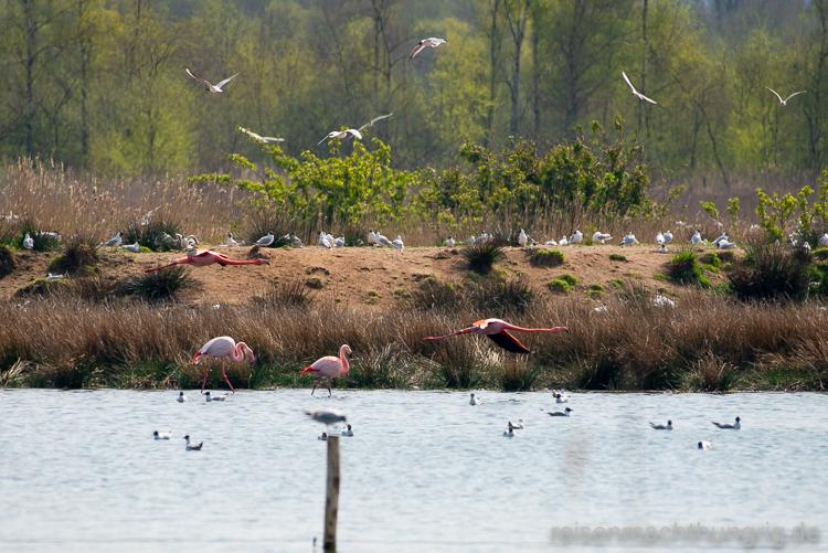 Rosa Flamingos im Flug