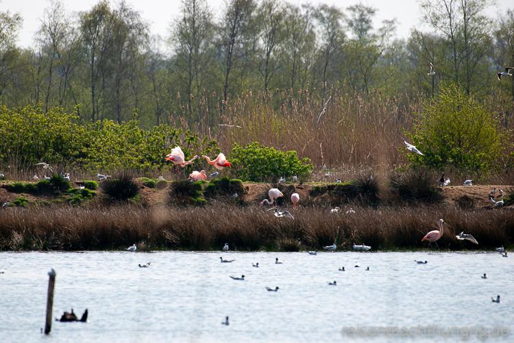 Streiterei unter Flamingos