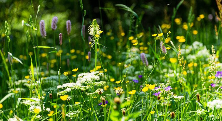 Wildblumenwiese in der Teuschnitz-Aue